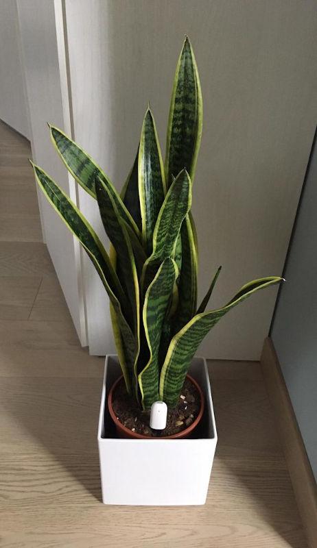 Sansevieria, nota pianta purificante