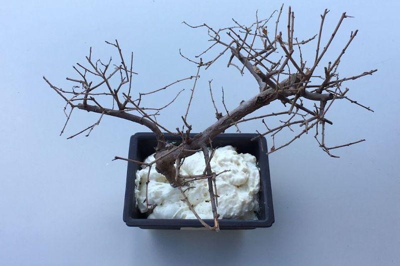 Ancoraggio del bonsai morto