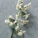 Coltivare la Moringa oleifera in casa: come stimolare la fioritura