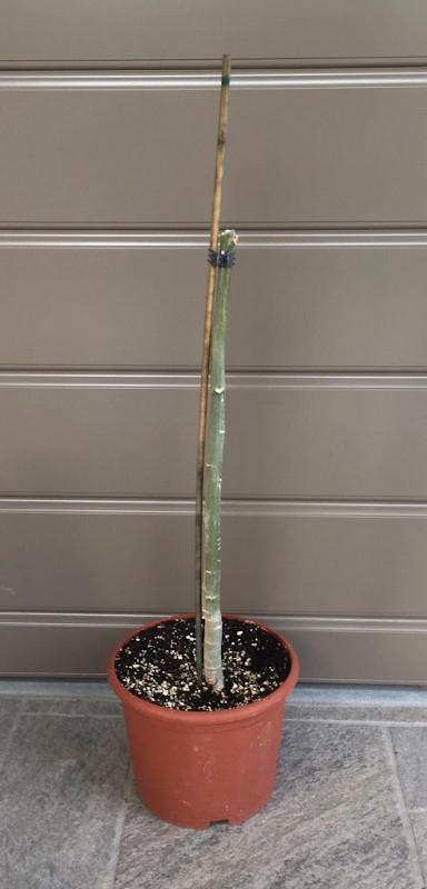 Moringa oleifera in inverno
