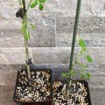 Coltivare la Moringa oleifera in casa: semina e prime cure
