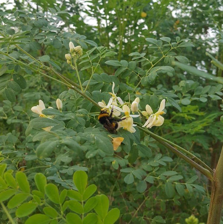 Moringa salento, fioritura e impollinazione