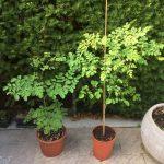 Coltivare la Moringa oleifera in casa: come effettuare il primo travaso