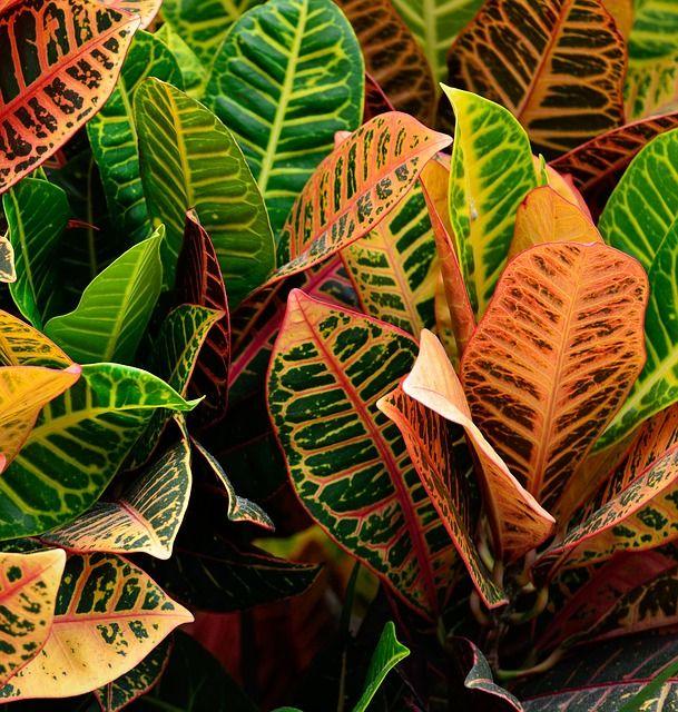 Croton purifica aria