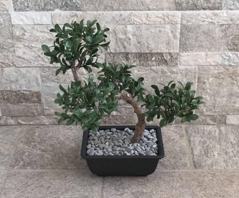 Resuscitare bonsai secco