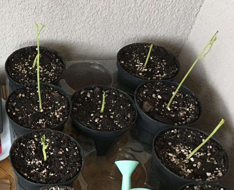 Travaso post germinazione Moringa Oleifera