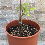 Coltivare la Moringa oleifera in casa: come moltiplicare le piante per talea