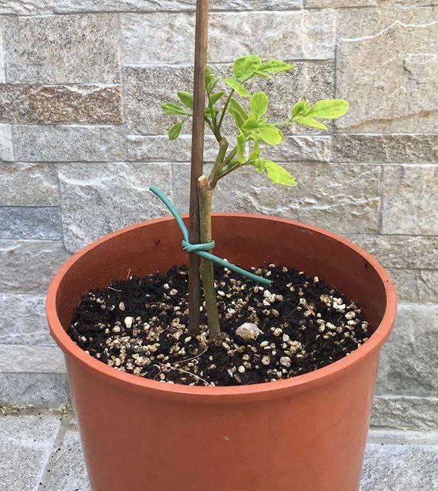 Talea di Moringa al risveglio vegetativo