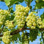 Vinificazione: come fare il vino bianco
