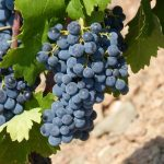 Vinificazione: come fare il vino rosso