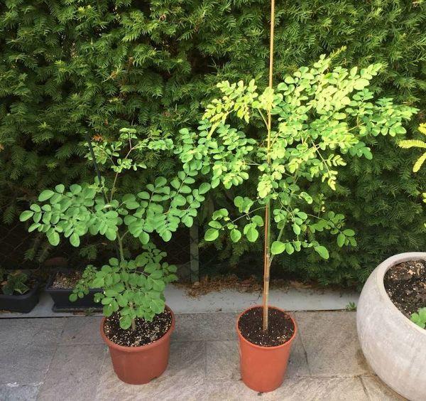 Le piante di Moringa un mese dopo il rinvaso