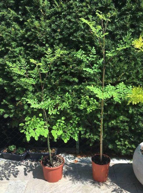 Le piante di Moringa due mesi dopo il rinvaso